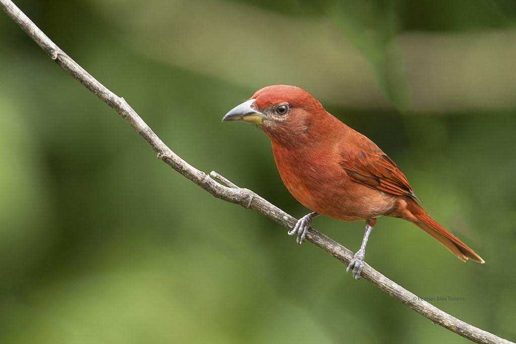Cardinalidae - Piranga flava ♂