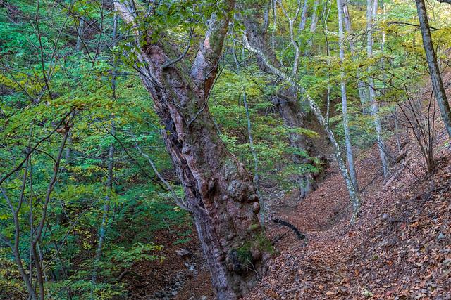 トチノキの巨木