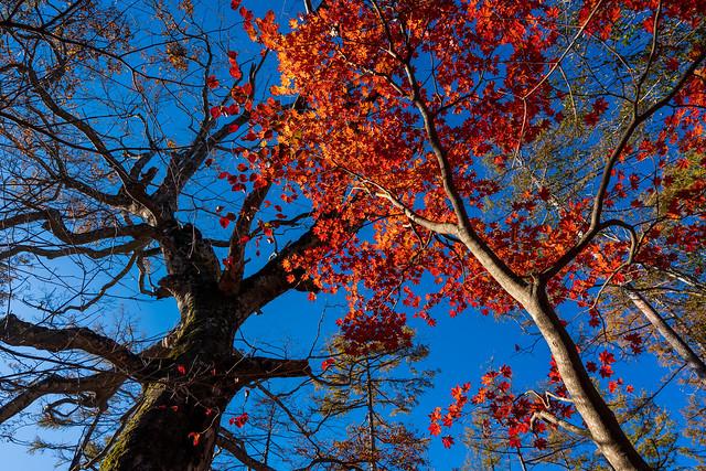 鶴寝山手前にて・・ハウチワカエデとブナの巨木を仰ぐ
