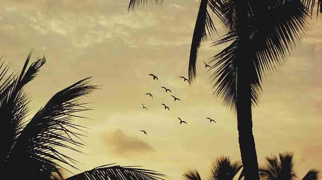 des-oiseaux-boivent-du-vin-de-palme