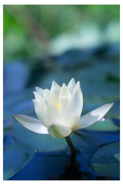 Lotus Lily - Chanticleer - Wayne PA_Web 1-E-C_Scaled