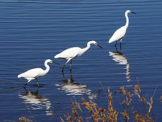 Six little egrets