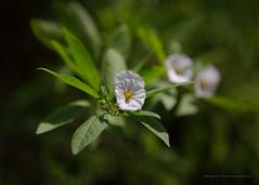 Namibian flower