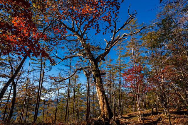 大きなブナの木@鶴寝山直下