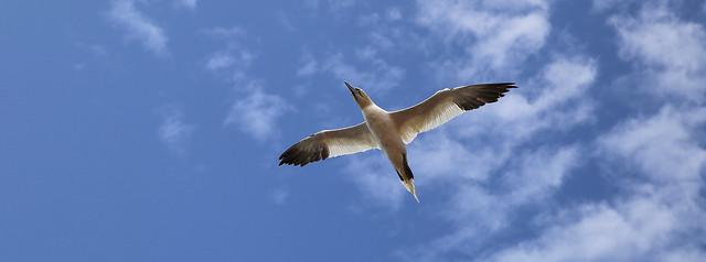 Northern Gannet flies over the island of Helgoland