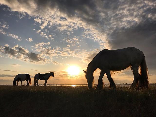 Wild marsh ponies