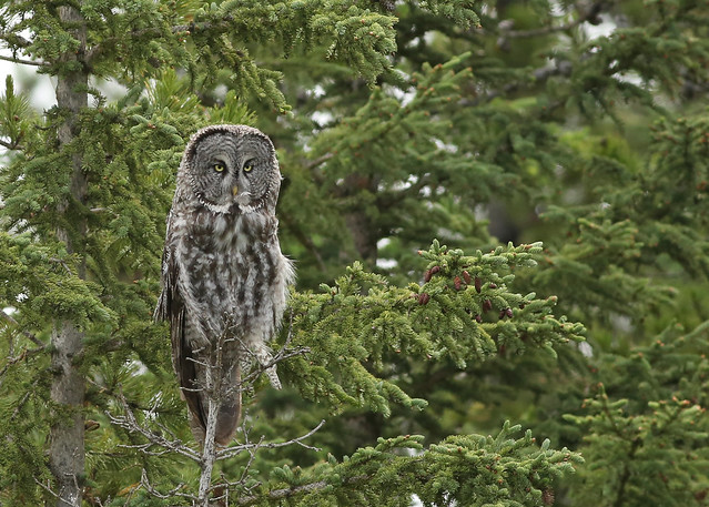 Great Gray Owl...#68