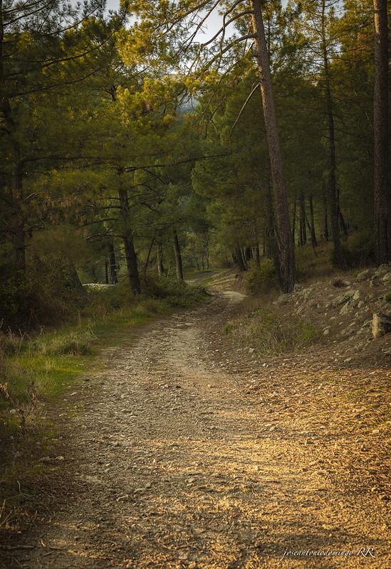 Camino forestal
