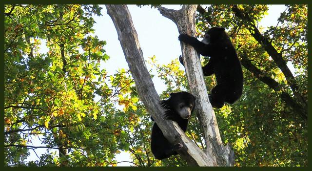 026624 2019 29 Oktober Burges Zoo Maleise Beer - Malayan Sun Bear C