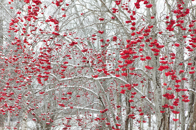Red winter berries in Horndal