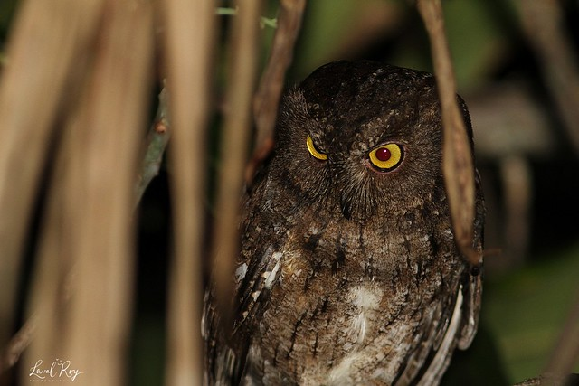 1.05823 Petit-duc malgache / Otus rutilus / Malagasy Scops-Owl