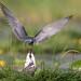Black Tern feeding a dragonfly (Chlidonias niger) Zwarte stern