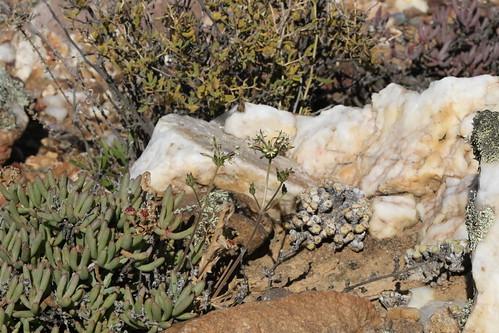 Pelargonium confertum