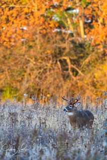 White tail buck on the prowl for does and foes during the Autumn rut. Lakewood forest preserve