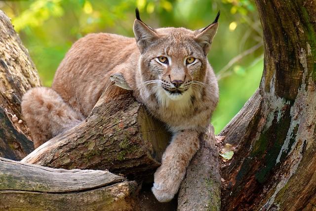 Silent Hunter | The Lynx
