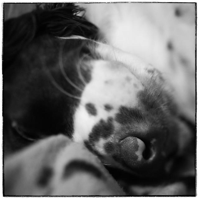 Upside Down Spaniel