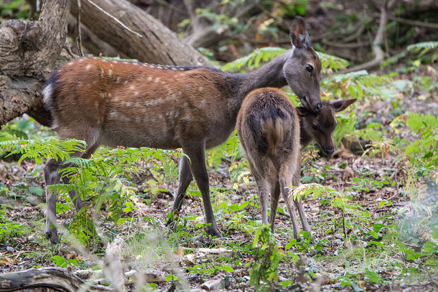 Sika Deer Cervus nippon - Mother And Young