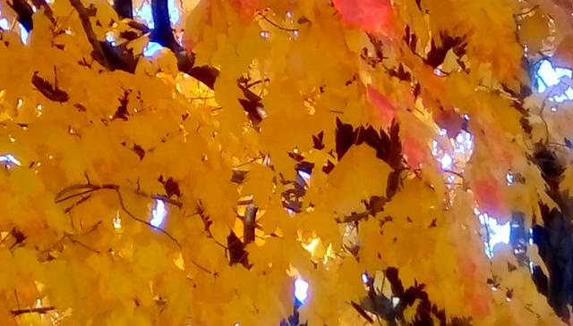 Yellow Maple leaves! Menominee Michigan