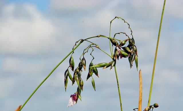 Thalia geniculata --  Fireflag in flower 1645