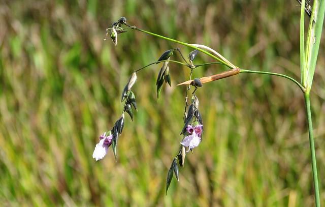 Thalia geniculata --  Fireflag in flower 1643