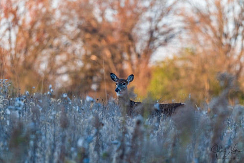 White tail Doe in early Autumn frost and colors. Lakewood forest preserve