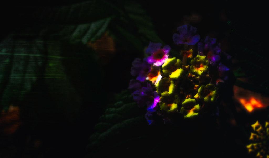 abstract lantana camara