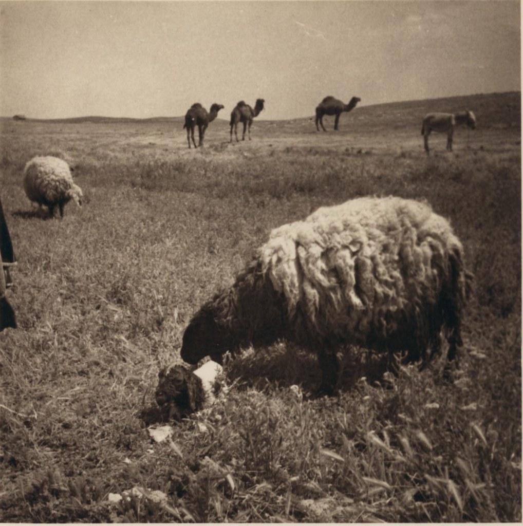 17. 27 апреля. Овцы и новорожденный ягненок