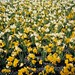 Daffodil Flowers at BC Provincial Government Building, Victoria