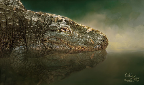Image of an alligator at the St. Augustine Alligator Farm in Florida