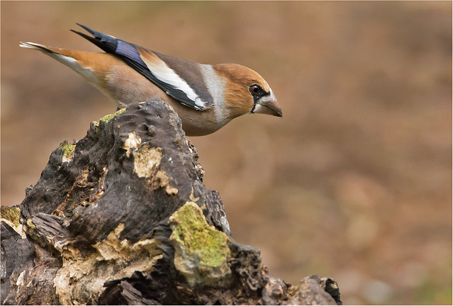 Appelvink - Coccothraustes coccothraustes
