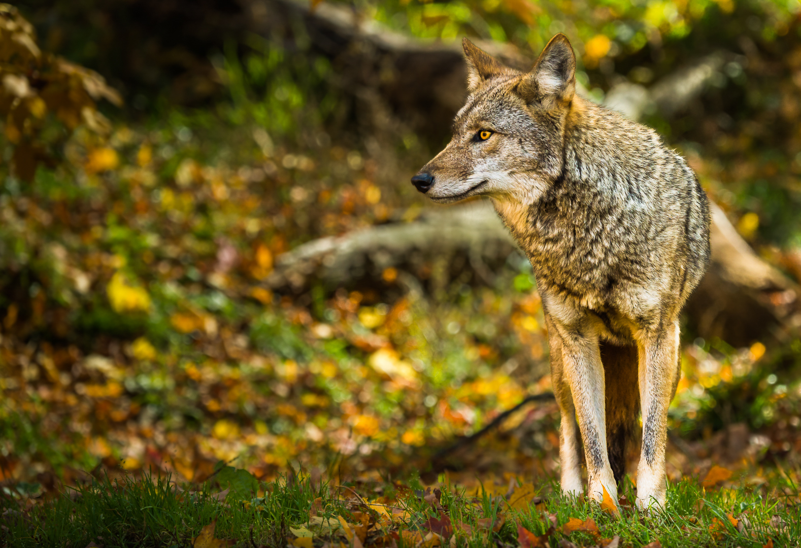 Coyote attentif