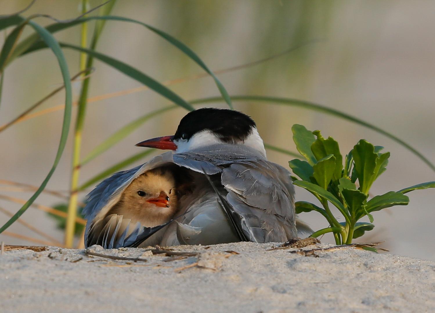 Newborn Tern