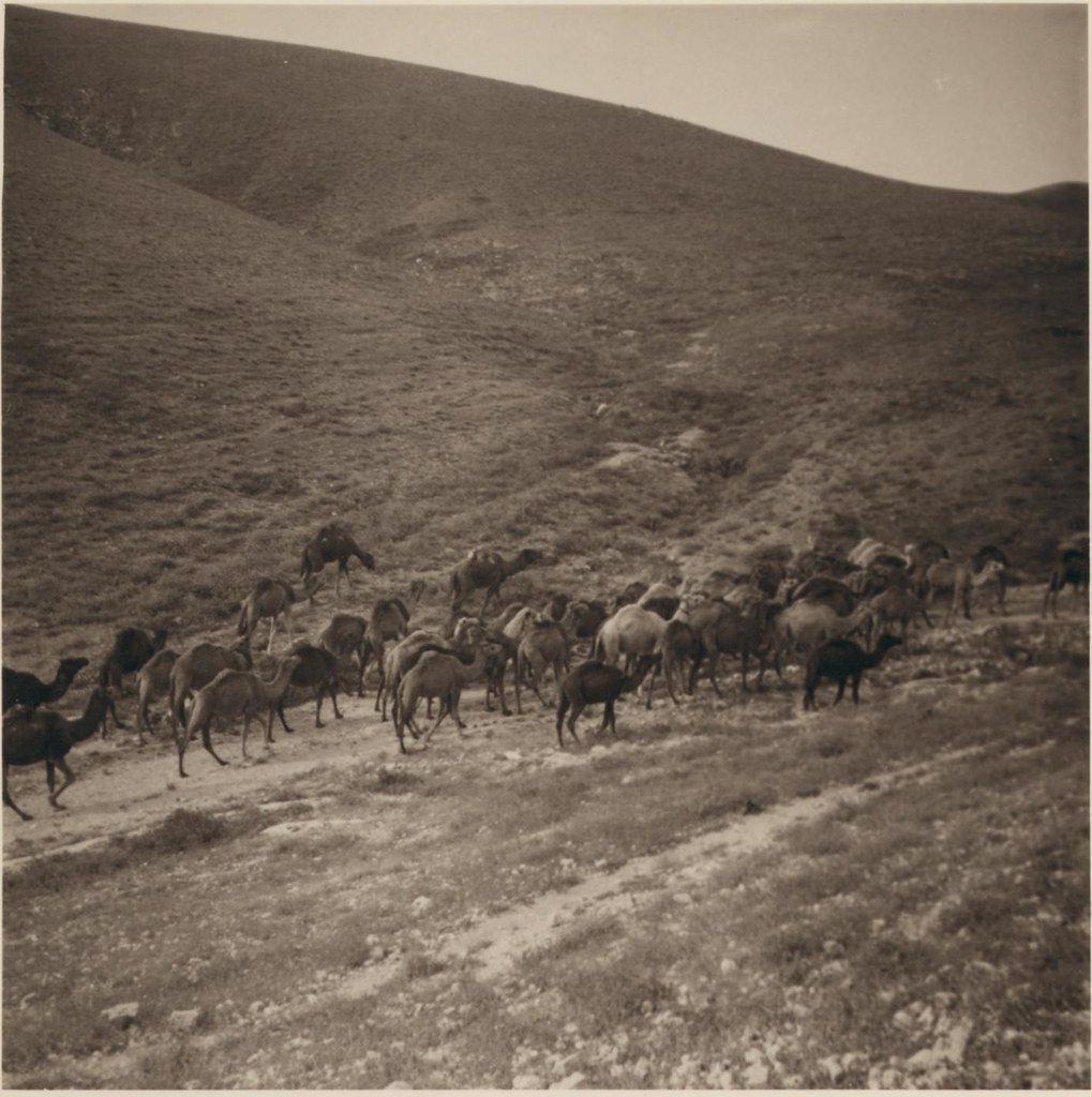 06. 7 апреля. Стадо верблюдов
