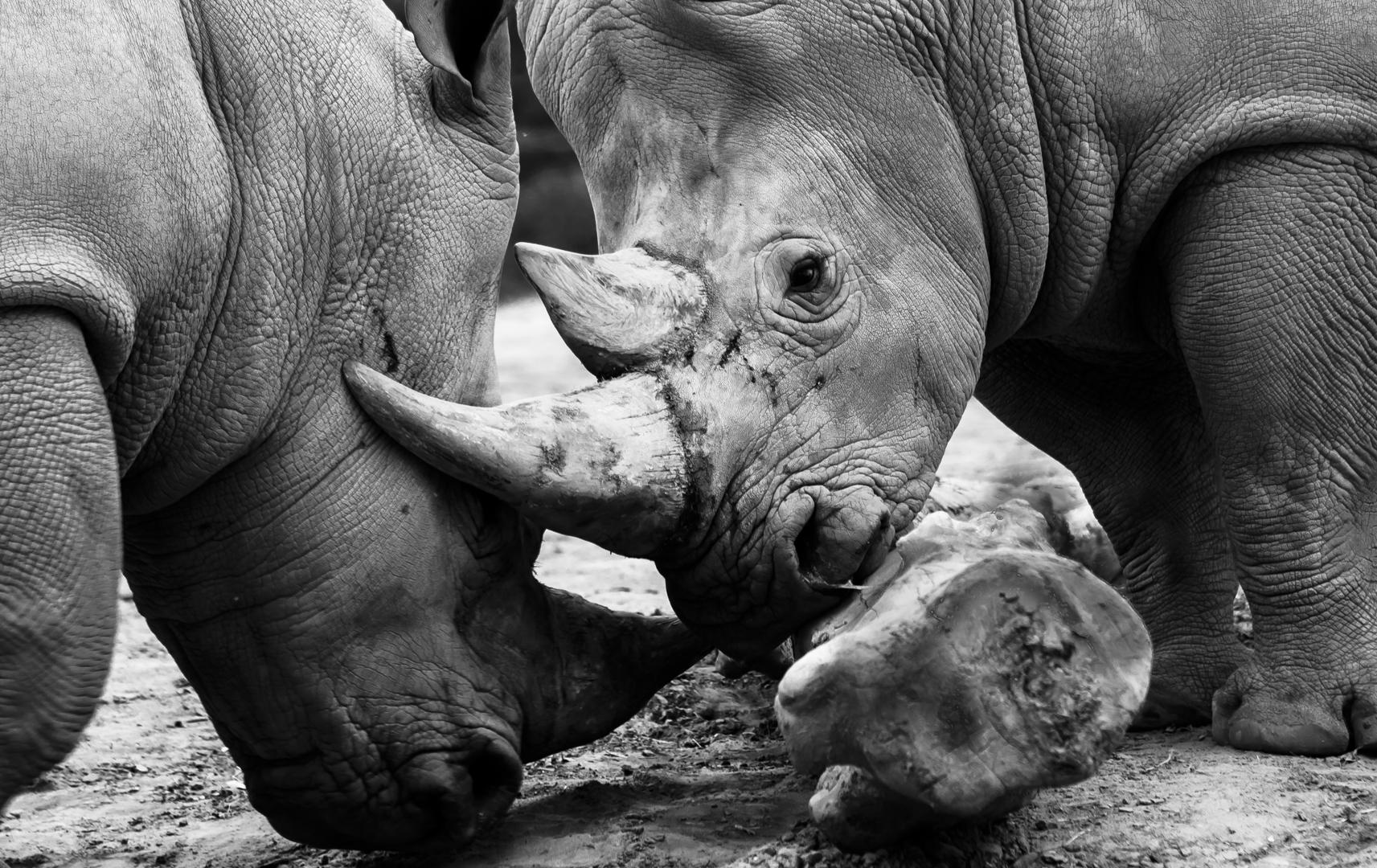 Le combat animalier
