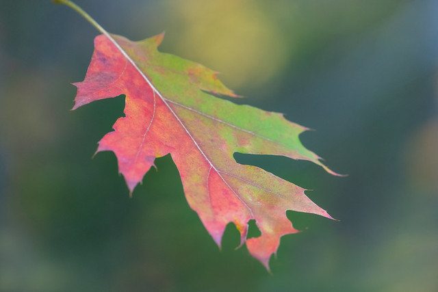 Acadia Oak Leaf