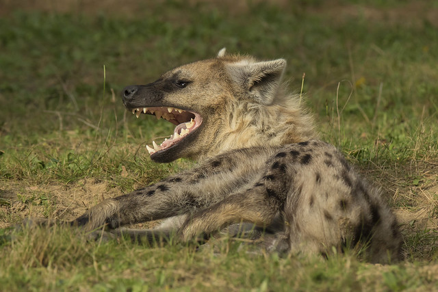 Gevlekte Hyena - Safaripark Beekse Bergen - Hilvarenbeek