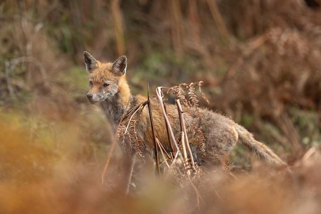 Rural fox