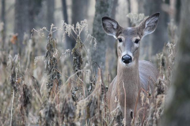 White tail deer, doe, Fort Snelling State Park