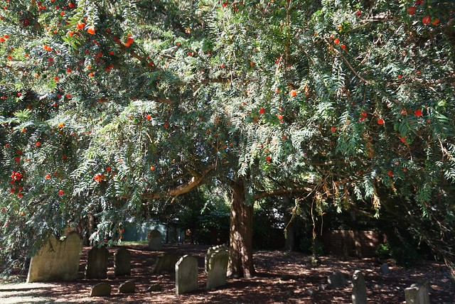 Yew tree by St James Church, Shere, Surrey 2