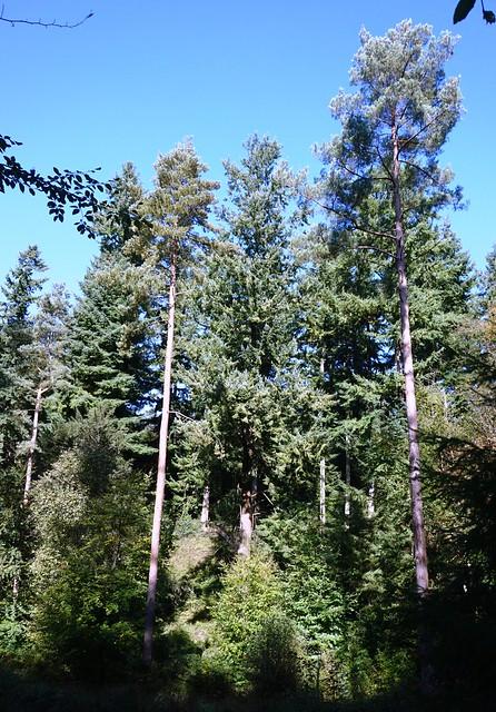 Pine trees in Netley Heath, Surrey