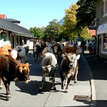 Bulls and Cows are coming in  Mittenwald