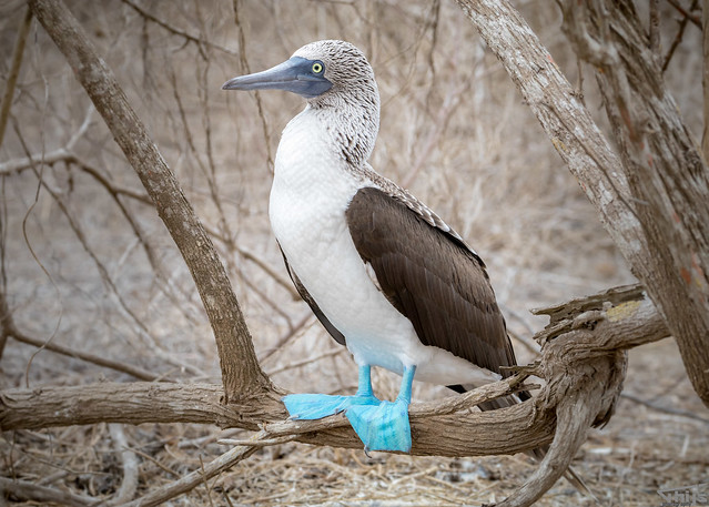 Blue-Footed Booby @ Galapagos Ecuador