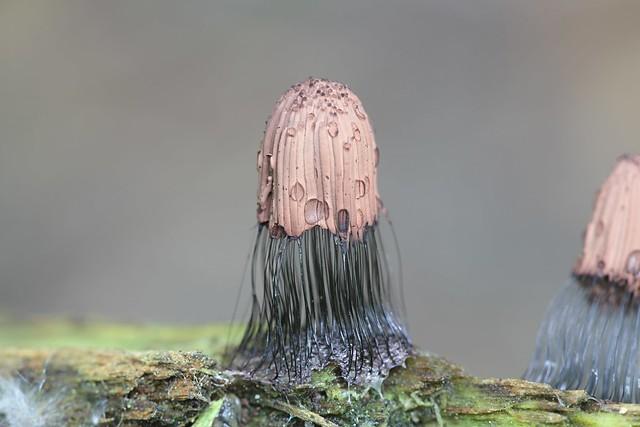 Tummakääminen - Stemonitis fusca - Tube slime mold