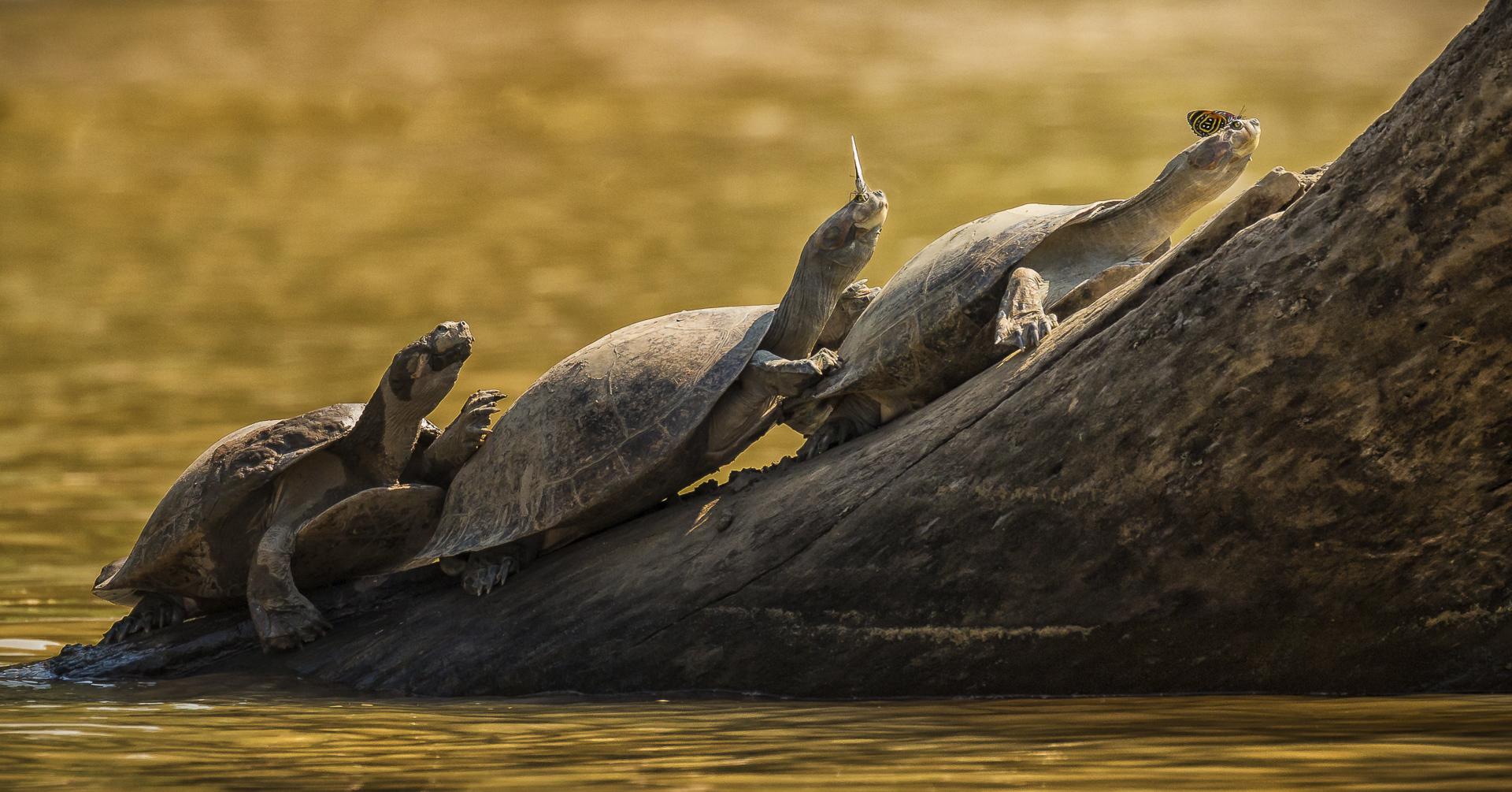 Les larmes salées des tortues