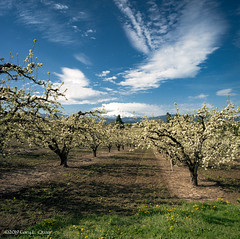 Orchard on Old Dalles Road, Hood River