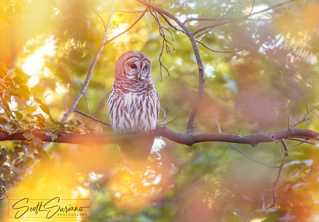 Psychedelic Barred Owl..