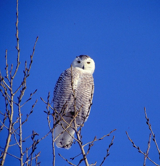 Snowy Owl Harfang des neiges
