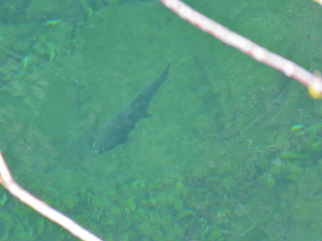 Fish in the Clackamas River