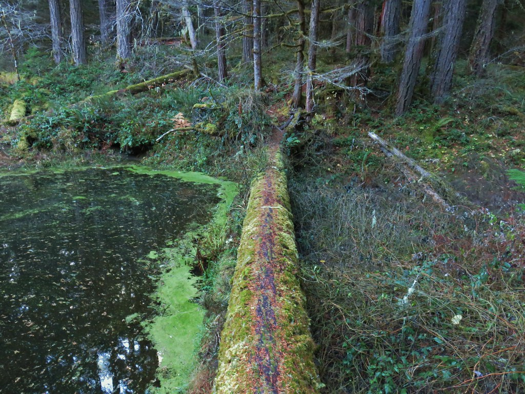 Former trail around the beaver pond.