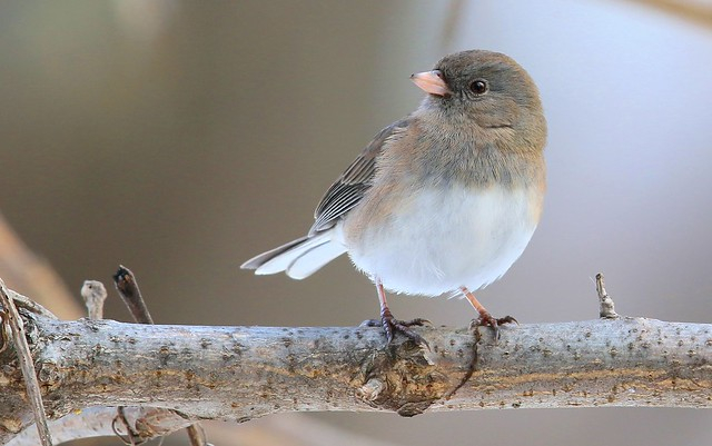 dark-eyed junco at Lime Springs IA 653A4152